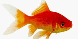 La Fête du poisson rouge @ Entrée du Super U